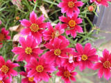 Ruby Coreopsis