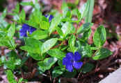 Vinca Minor, image is a bit 'too blue'